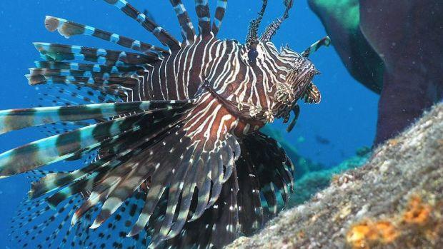 Lionfish-SebastianWallroth-WikimediaCommons