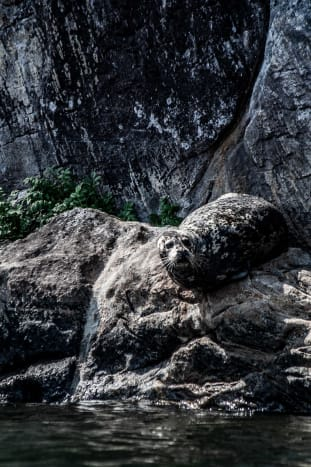 A naturally camoflaged seal suns itself on rocks at the base of a cliff