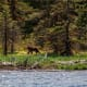 A bear stalks the fishing grounds at a wildlife sanctuary near Ketchikan.