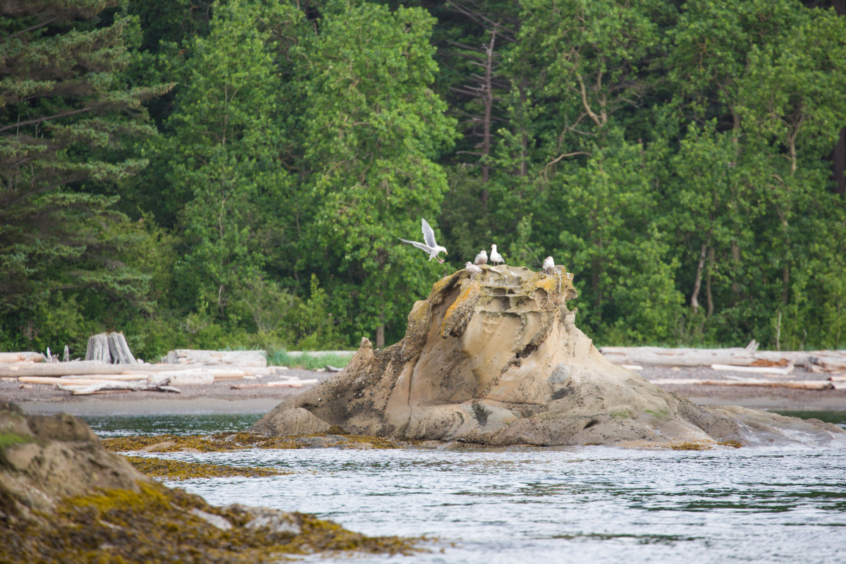 Seagulls land near the shoreline, Sucia Island Marine State Park.