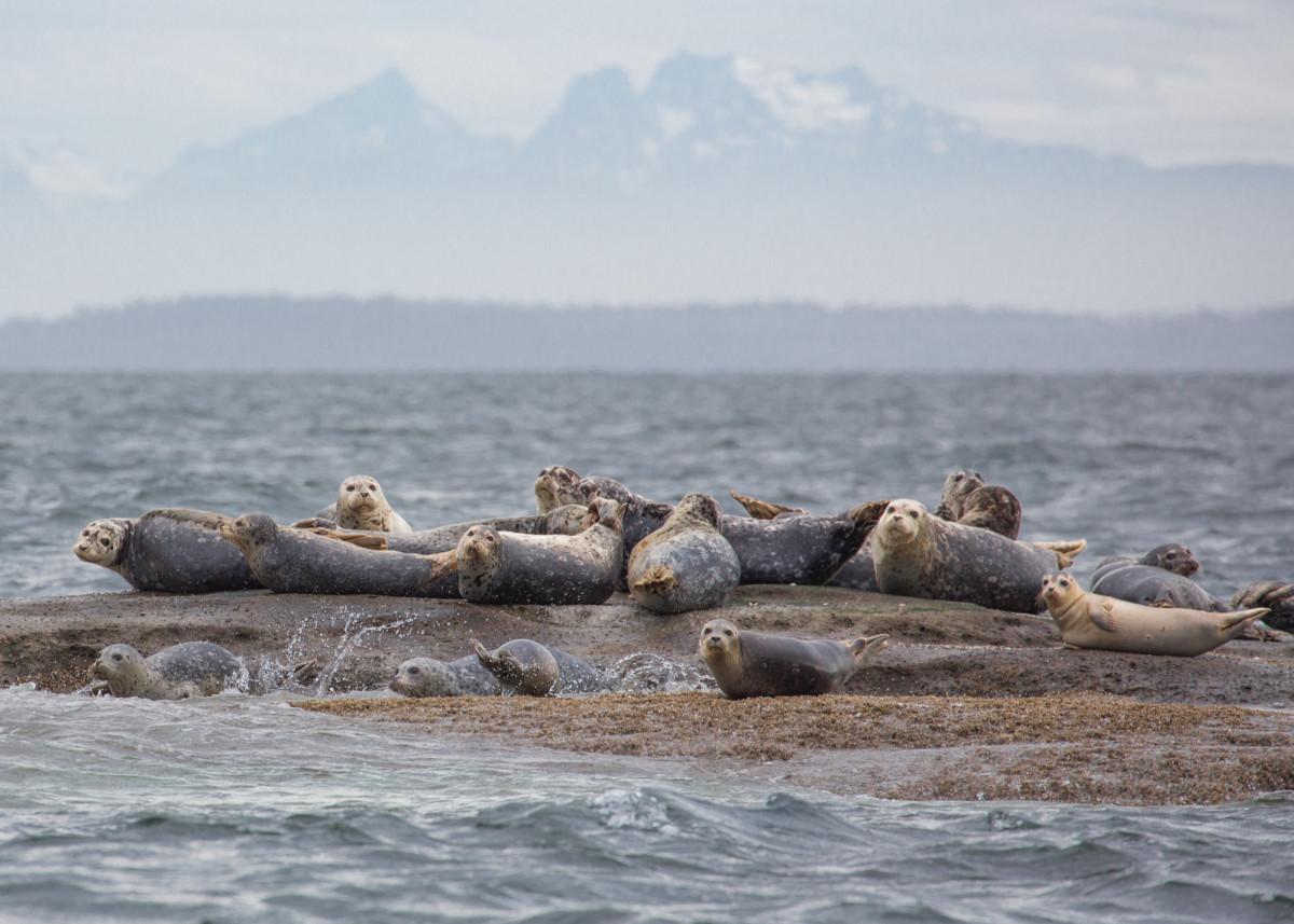 Harbor seals congregate on Clements Reef, San Juan Islands.
