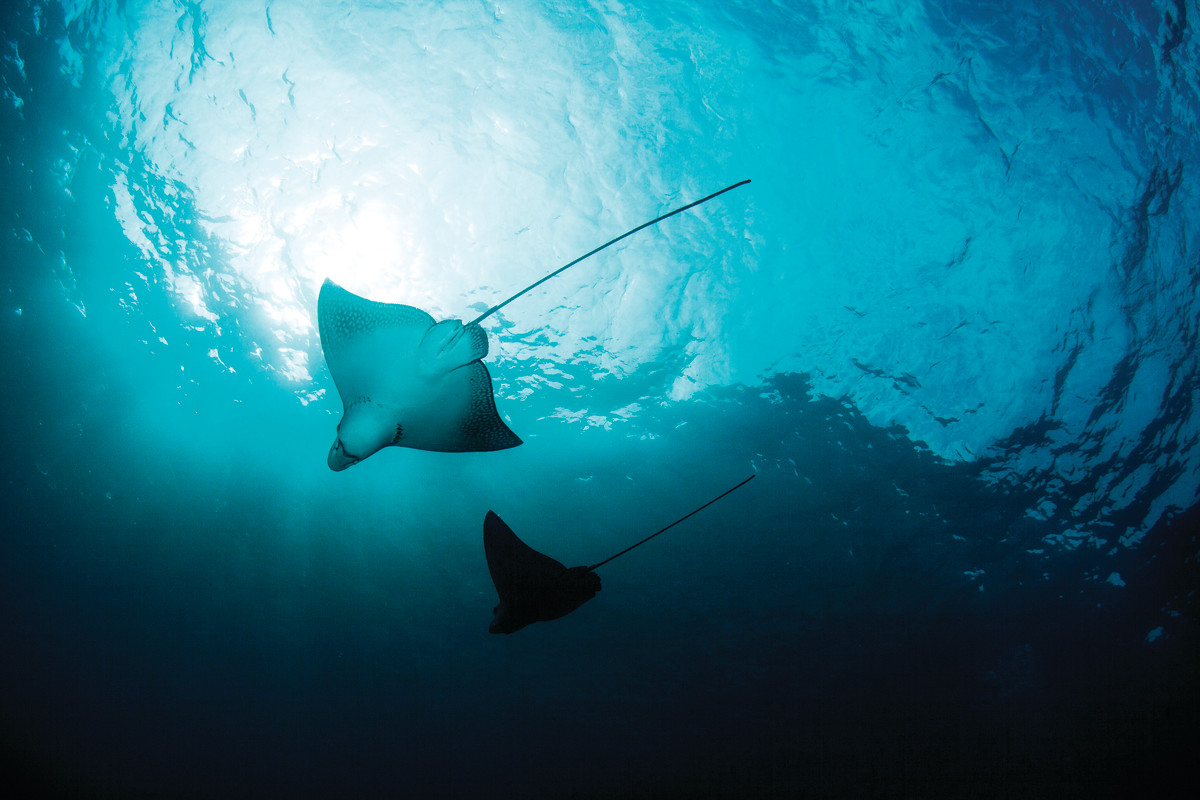Large stingrays are a common sight in the waters of Costa Rica.