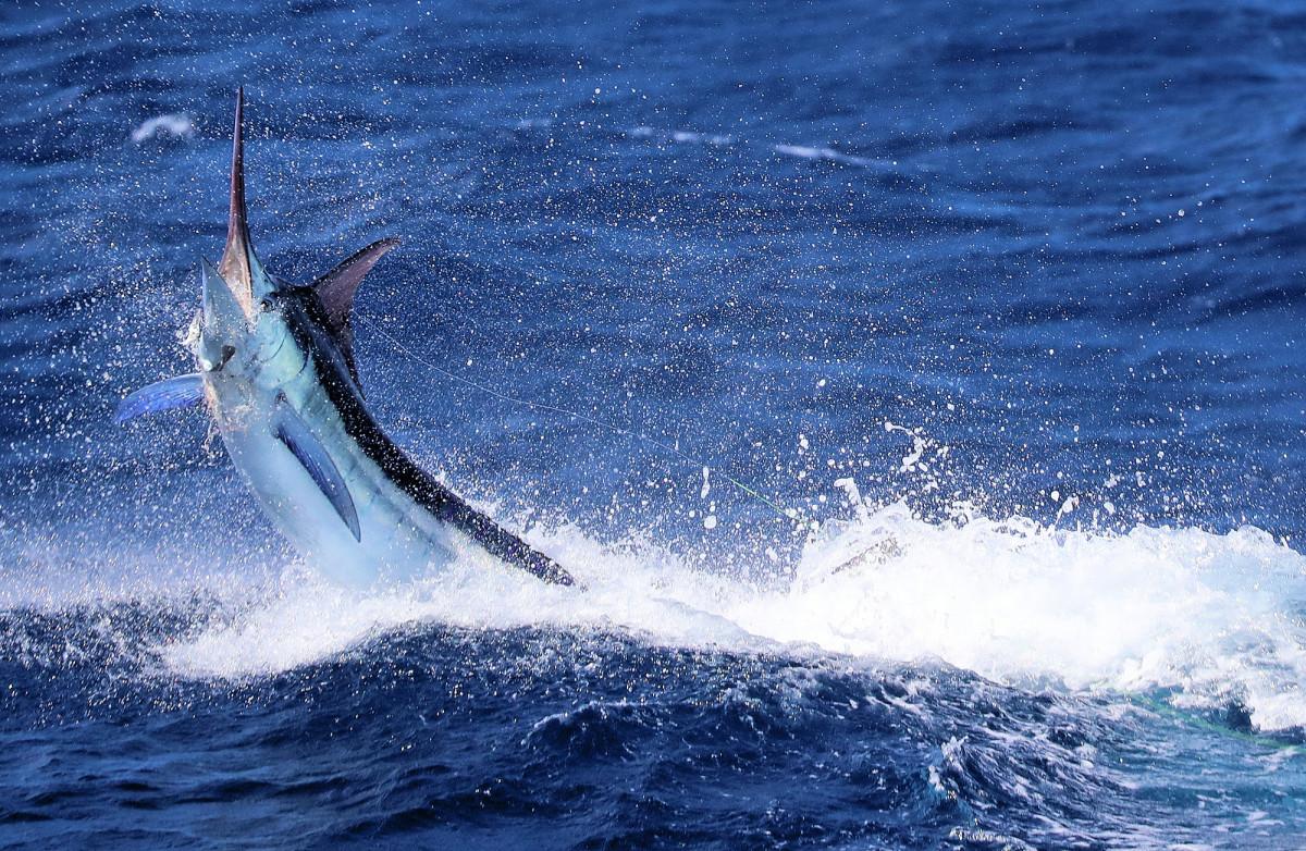 Blue-Marlin_web