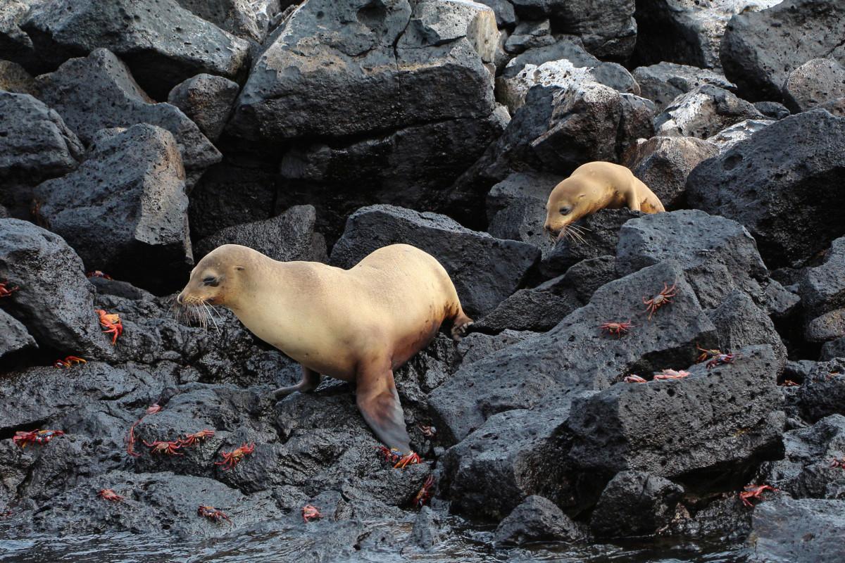 Galápagos_sea_lions,_Santa_Fe_Island_01_web