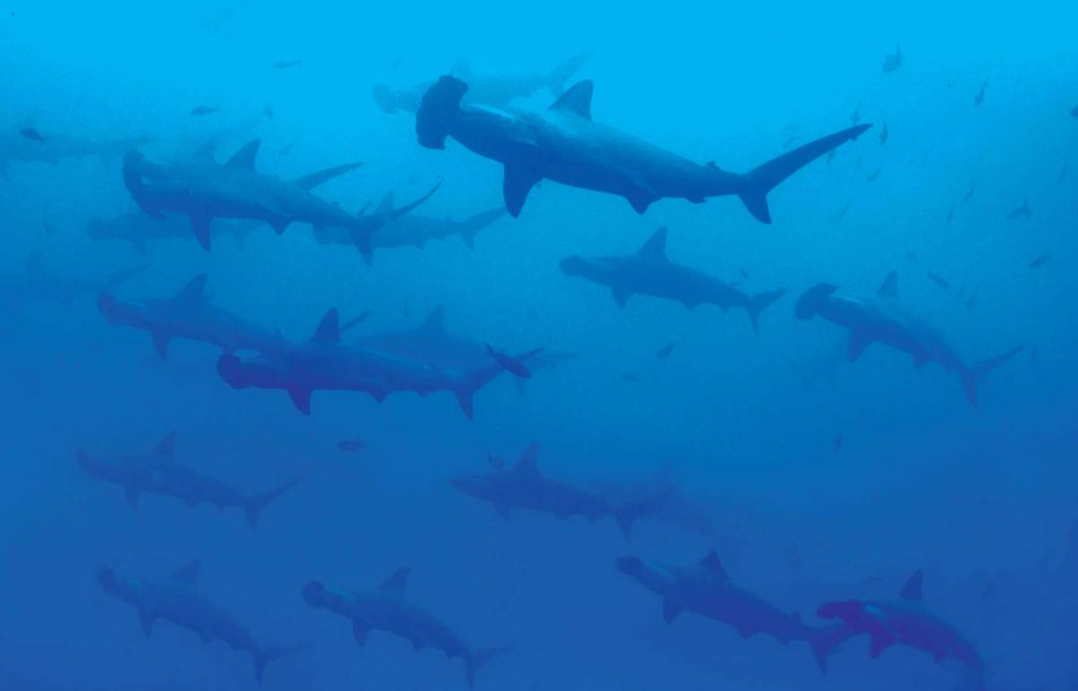 For the owner, perhaps the only thing more exhilarating than diving with a shark is diving with a school of them—in this case, hammerheads, which he captured on camera recently in the Galapagos.