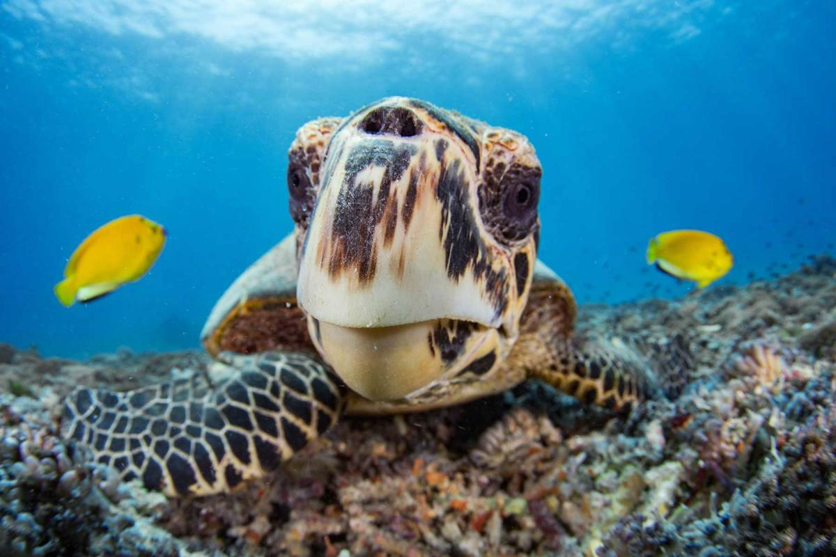 The endangered hawksbill sea turtle is one of six species of turtles that call the clear waters of the Whitsundays home.