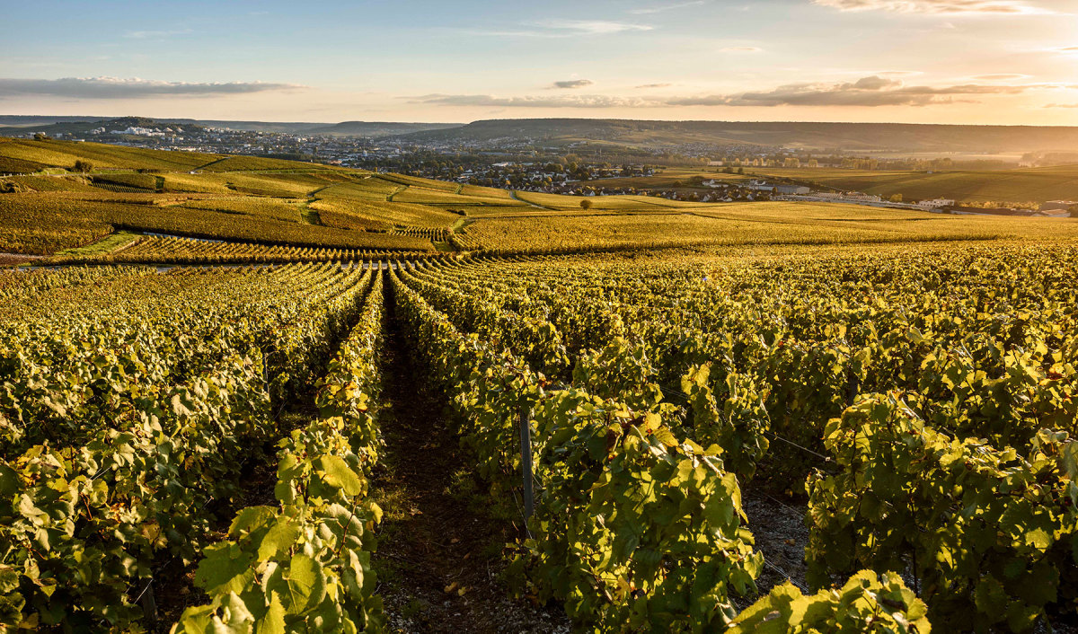 A glimpse of Laurent Perrier vineyard in the Champagne region of France