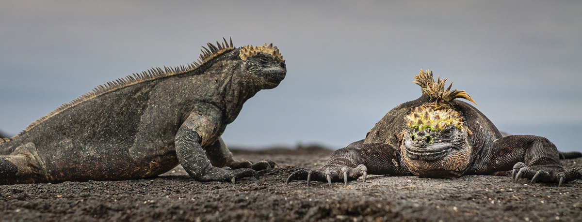 Iguanas and other reptiles look positvely prehistoric